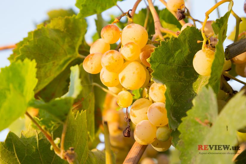 На закладку новых садов и виноградников будет выделено 1 трлн сумов