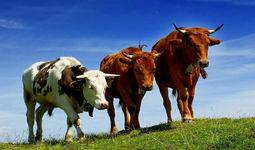 В Узбекистане просубсидируют производство и импорт скота