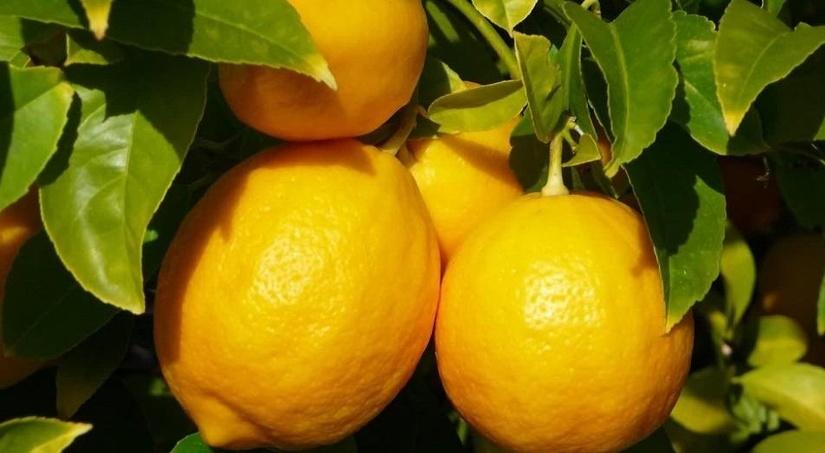 Кооперации по выращиванию лимонов начнут субсидировать