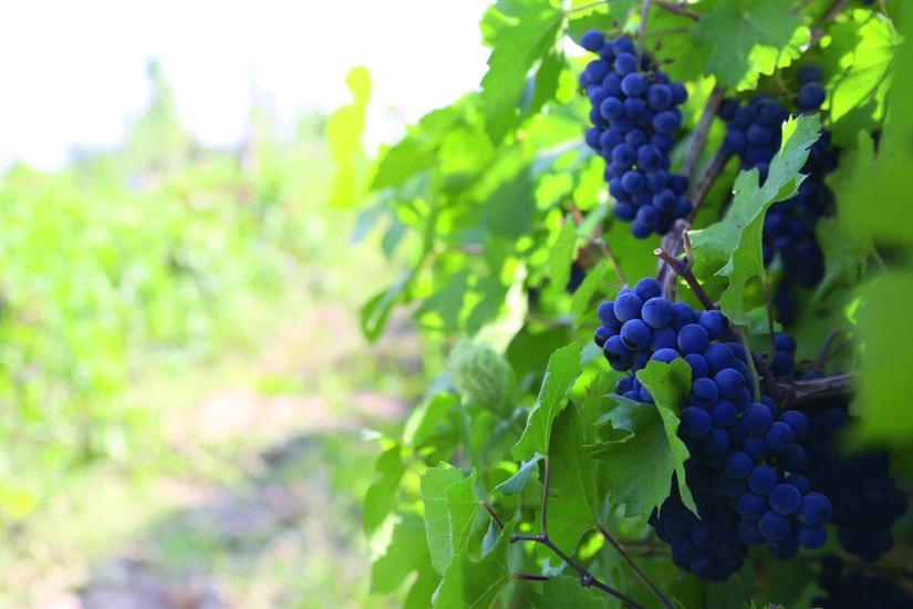 Экспортный потенциал узбекских виноградников