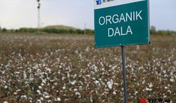 Cotton Campaign Ўзбекистон 2020 йилги пахта теримида мажбурий меҳнатга барҳам беришда «сезиларли ютуқлар»га эришганини маълум қилди