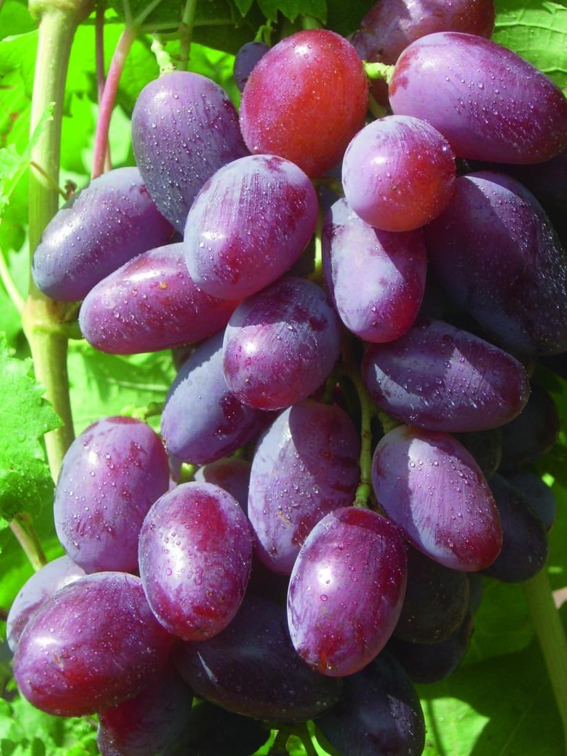 Букет узбекского виноделия