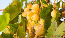 Uzumchilik va vinochilik klasterlari tashkil etiladi