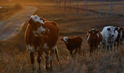 Государство вводит дополнительные меры поддержки животноводства