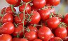 В МИВТ прокомментировали запрет на ввоз в РФ томатов и перцев из Ферганской области
