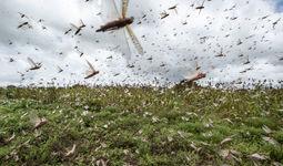 ФВВ Ўзбекистонга кириб келган зарарли чигирткалар қарши курашяпти