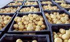 Картошка, пиёз, сабзи, гуруч маҳсулотларининг захира ҳажмлари белгиланди