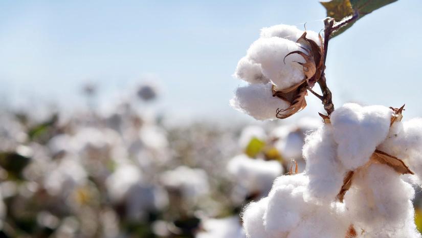 Cotton Campaign опубликовала ответ Министерству занятости и трудовых отношений Узбекистана