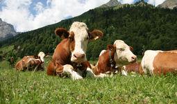 Узбекистан импортирует скот из Украины