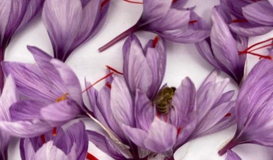 Ўрмон хўжаликларида заъфарон гулларини йиғиб-териб олиш мавсуми бошланди