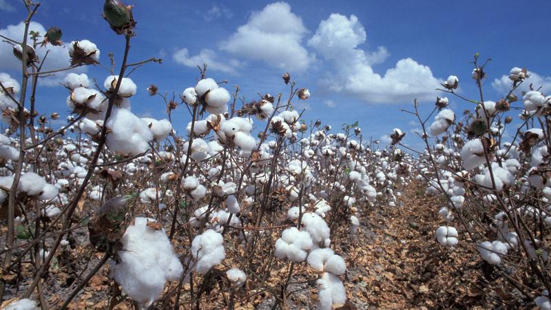 Исключение узбекского хлопка из цепочек поставок Cotton Campaign прокомментировал глава МИВТ