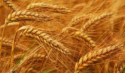 Экспорт казахстанской пшеницы сократится из-за Узбекистана